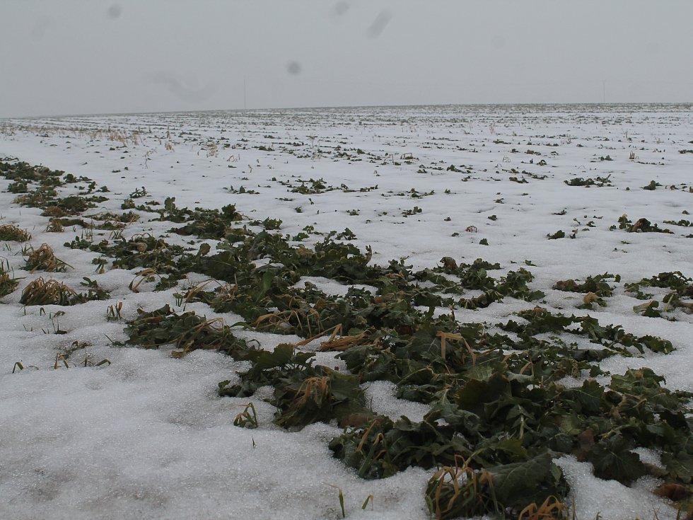 Řepka pod sněhem