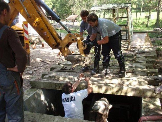 Záchrana velbloudice Safiny v obci Šípy