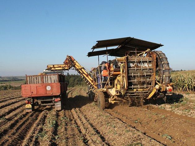 Vybírání brambor ilustrační foto
