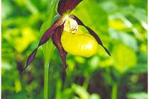 Královna mezi evropskými orchidejemi