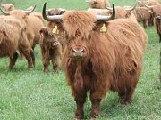 Chov skotského náhorního skotu