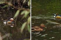 SAMEČEK kachničky mandarinské byl několik dní pozorován v Hrádku u Rokycan.