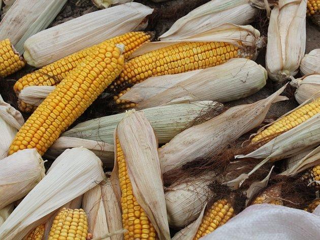 Kukuřice ilustrační foto