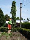 Česání tyčové chmelnice v Kolešovicích a dočesná