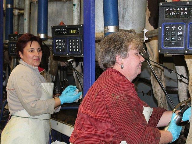 Dojení na středisku živočišné výroby Ruda při Školním zemědělském podniku Lány
