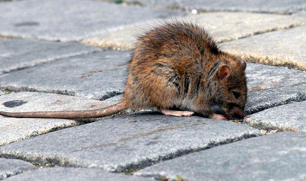 Potkan. Ilustrační foto