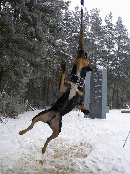 HIGH – JUMP a pittbull Argo.