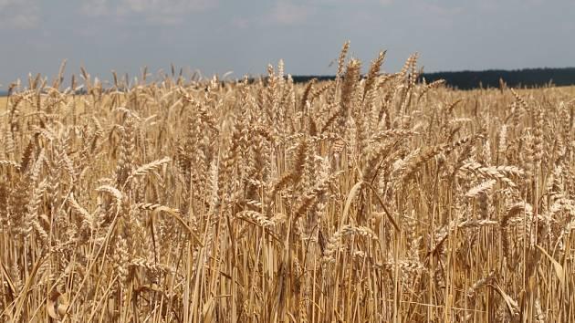 Pšenice ilustrační foto