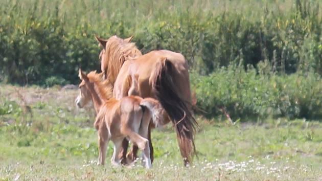 Koně na pastvě v Rousínově