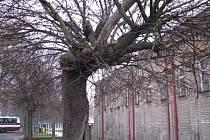 Nemocné stromy musí z ulic Rakovníka zmizet. Jsou již pro lidi hrozbou. Pokácené budou nahrazeny novými.