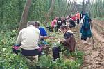 Letos zasedli česáči do chmelnic v Kounově, aby načesali chmel pro pořádnou krušovickou desítku