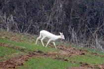 Bílá srna u obce Pšovlky