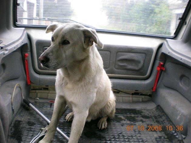 Zatoulaný pes je dnes už v rakovnickém útulku.
