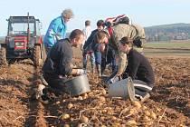 Vybírání brambor v Lužné