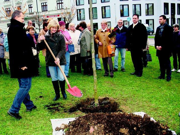 O TO, ABY KOŘENY nového stromu byly jako ve vatě, se přihazováním úrodné zeminy postarali členové Onko klubu Rokycany i další účastníci setkání. Symbolicky také zastoupené exstarostou Vladimírem Šmolíkem a novým vedením.
