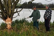 Okousané stromy těsně před pádem do vody a další načaté nám ve středu ukazoval Václav Vaník a Jan Šperl, který je objevil právě v těchto dnech. Bobr se v našem okrese objevil už na několika místech.