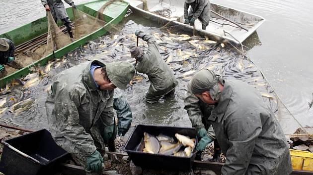 Dva velké výlovy - Čápského a včera Dvorského rybníka - mají za sebou pracovníci Rybniční správy J. Colloredo - Mannsfelda, Zbiroh. Nad podložní sítí, položené den předem, poslední zbytky vody rybími těly přímo ´vřely´.