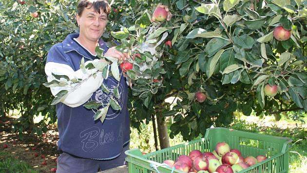 Červenavé a šťavnaté plody odrůdy Julie začaly v břaských sadech opouštět stromy a plnit lísky. Na snímku letní jablka češe Radka Dofková z Vranovic, která patří mezi stálé zaměstnance. O první úrodu je mezi zákazníky značný zájem.