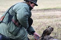 Sokolnictví je lov zvěře pomocí sokolnicky vedených dravců. Tento zváštní způsob  lovu láká opět řadu příznivců. Na snímku je sokolník Jiří Komorous se sokolem stěhovavým a úlovkem.