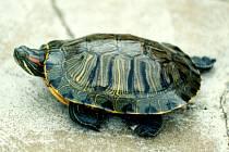 Želva najde azyl v Němčovicích