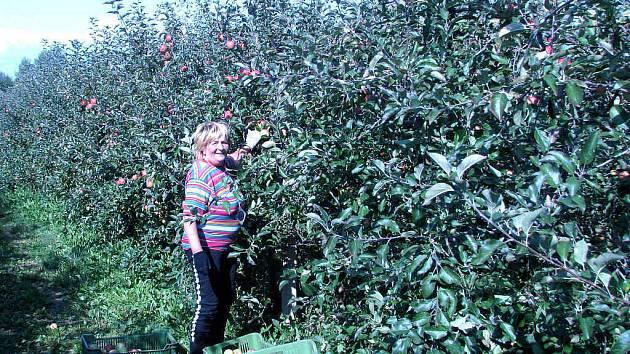 Ve vranovských plantážích se sklizeň oblíbeného ovoce překlopila už do druhé poloviny. Přibližně čtyřicítka česáčů denně vyráží do sadů. Mezi nimi je i Jana Myšíčková.