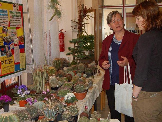 Pětidenní expozice kaktusů a sukulentů začínala v předsálí rokycanské sokolovny v sobotu ráno.