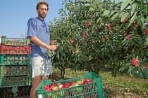 """V Sadech Schwarz v Břasích na Rokycansku zahájili sklizeň letních jablek. """"Jako první přichází na řadu odrůda Julia. Následovat budou Discovery a Hana,"""" konstatoval včera ovocnář Dalibor Káda (na snímku) při prohlídce plantáží. Zatím stačí na trhání ovoce"""