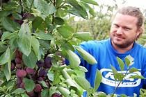 V ovocných sadech na okraji Břas začali trhat letní odrůdy jablek. Navíc si zde troufli na švestky.