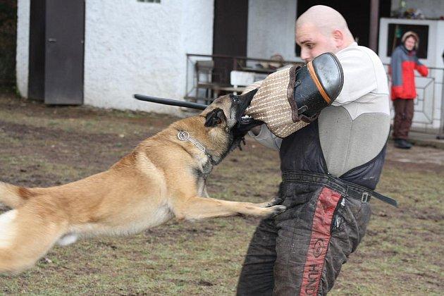 Figurant Honza Srp při hladkém zadržení belgickým ovčákem Michala Filipa Skipprem, který se umístil na stříbrné příčce v osmém ročníku speciálního závodu psů služebních plemen v zimní a noční době. Dějištěm akce byl Hrádek.   Foto: