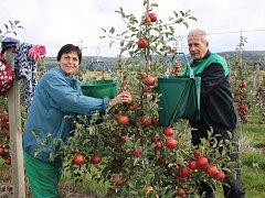 Václav a Alena Milfaitovi z Radnic přijeli pomáhat se sklízením ovoce do plantáží ve Vranově úplně poprvé. Na snímku česají jablka z nejmladšího sadu, který byl vysázený v roce 2008.