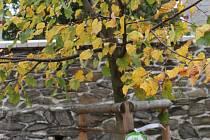 Strom vysazený na Gottovu podporu chřadne..