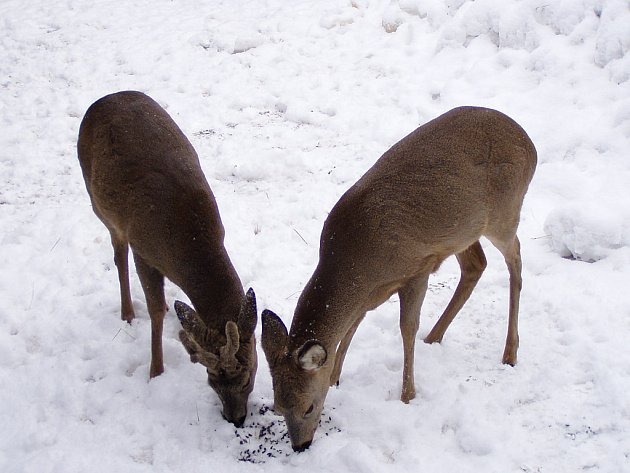 Srnky teď hledají potravu pod sněhem na polích.