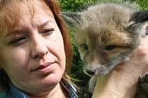 Do rokycanské záchranné stanice živočichů přibyla mláďata lišek. Na snímku jedno z nich drží Petra Moulisová.
