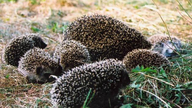 Pod koly aut končí stále více ježků. Na silnicích hledají v tomto období potravu.