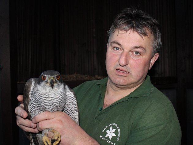 PAVEL MOULIS jestřábem lesním. Pro opeřence vyrazil po upozornění do Pavlovska. Zesláblého ptáka pravděpodobně srazilo auto.