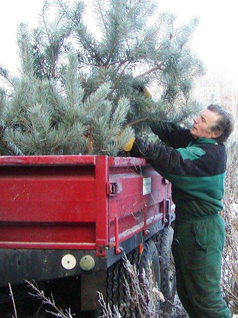 Po vánočních stromcích je poptávka, a tak i Lesy města Rokycan doplňují další.