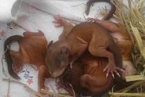 Zachráněná mláďata veverek