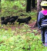 Divočáci se nebojí. Opouštějí vnitřek lesa a živí se i v blízkosti lidí.