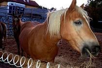 Chov koní (teď je jich ustájeno šest) v areálu manželů Beránkových je trnem v oku sousedům. Povondrovým vadí myši, mouchy, zápach i možnost kontaminace spodních vod.