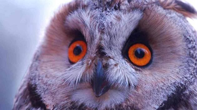 Kalouse ušatého vypustil Pavel Moulis zpět do přírody.