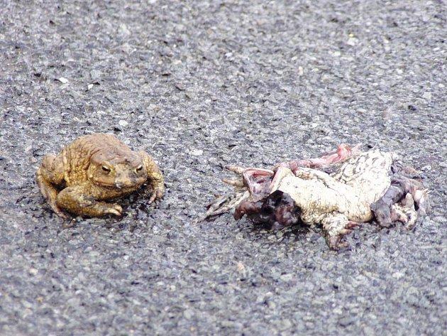 Na silnicích každoročně hyne několik tisíc nejrůznějších druhů žab. Migrují totiž do míst, kde se páří. Ochránci přírody tak apelují na řidiče, aby se jim snažili vyhnout.