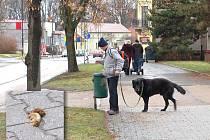 Zodpovědný pejskař Lubomír Vaník uklízí nevábnou hromádku po svém čtyřnohém společníkovi Maxovi  v rokycanské Jiráskově ulici.  Bohužel takto uvědomělých majitelů je jako pověstného šafránu, proto  to na ulicích vypadá jako v minovém poli.