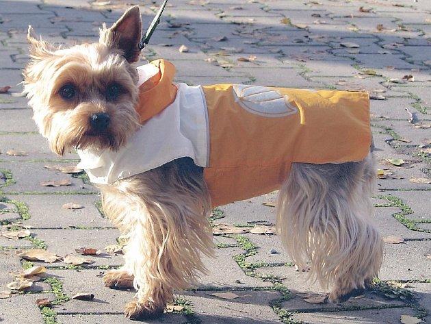 Fensku yorkšíra Kitty oblékla její majitelka Šárka Veselá do podzimního kabátku.