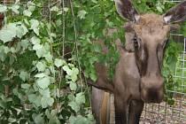 Stěhování losa evropského do Zoo Ohrada.