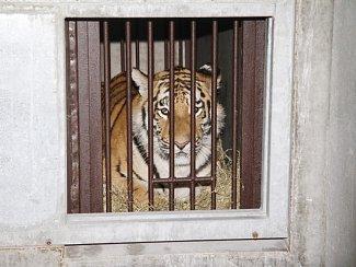 Tygr Oliver v Zoo Ohrada.