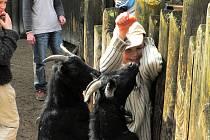 Domácí kozy patří v hlubocké zoo k nejoblíbenějším už proto, že k nim mohou návštěvníci přímo do výběhu. Pro děti je setkání s živým zvířetem velký zážitek.