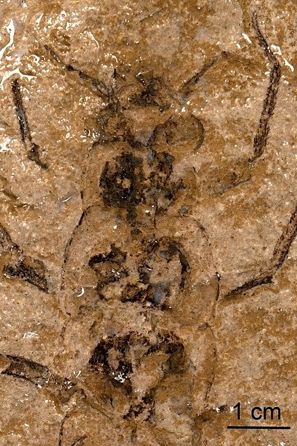 Zkamenělina hmyzu nalezená na Berounsku.