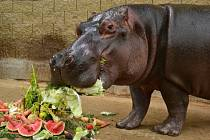 Hroší narozeniny oslaví návštěvníci v Zoo Dvorec  v neděli 5. července.