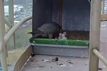 Na teplárenském komínu výtopny Vráto se minulý týden opět narodila mláďata sokola stěhovavého.