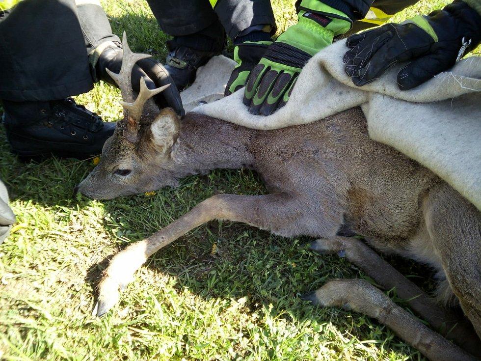 U Malého Dubičného 20. dubna vyprošťovali profesionálové ze stanice Suché Vrbné srnce zamotaného svojí zadní a přední nohou do drátů ohradníku.
